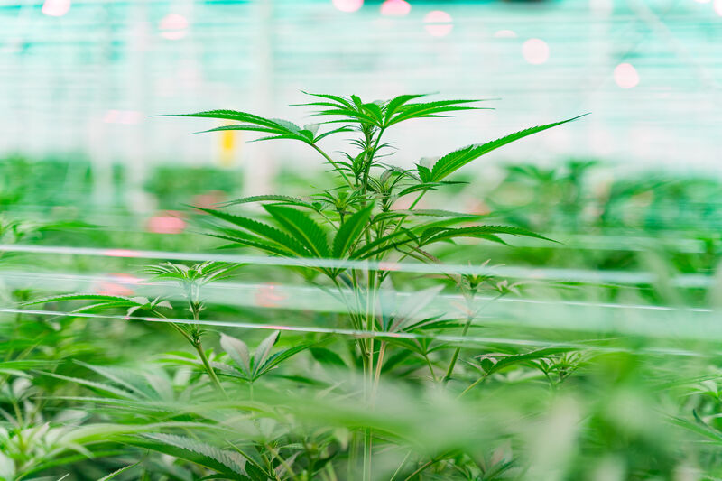 Growing cannabis in a greenhouse
