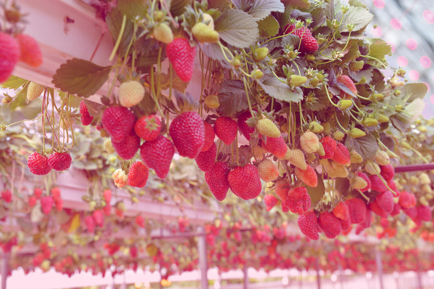 HortiDaily: Belgian strawberry grower goes for hybrid lighting in new greenhouse