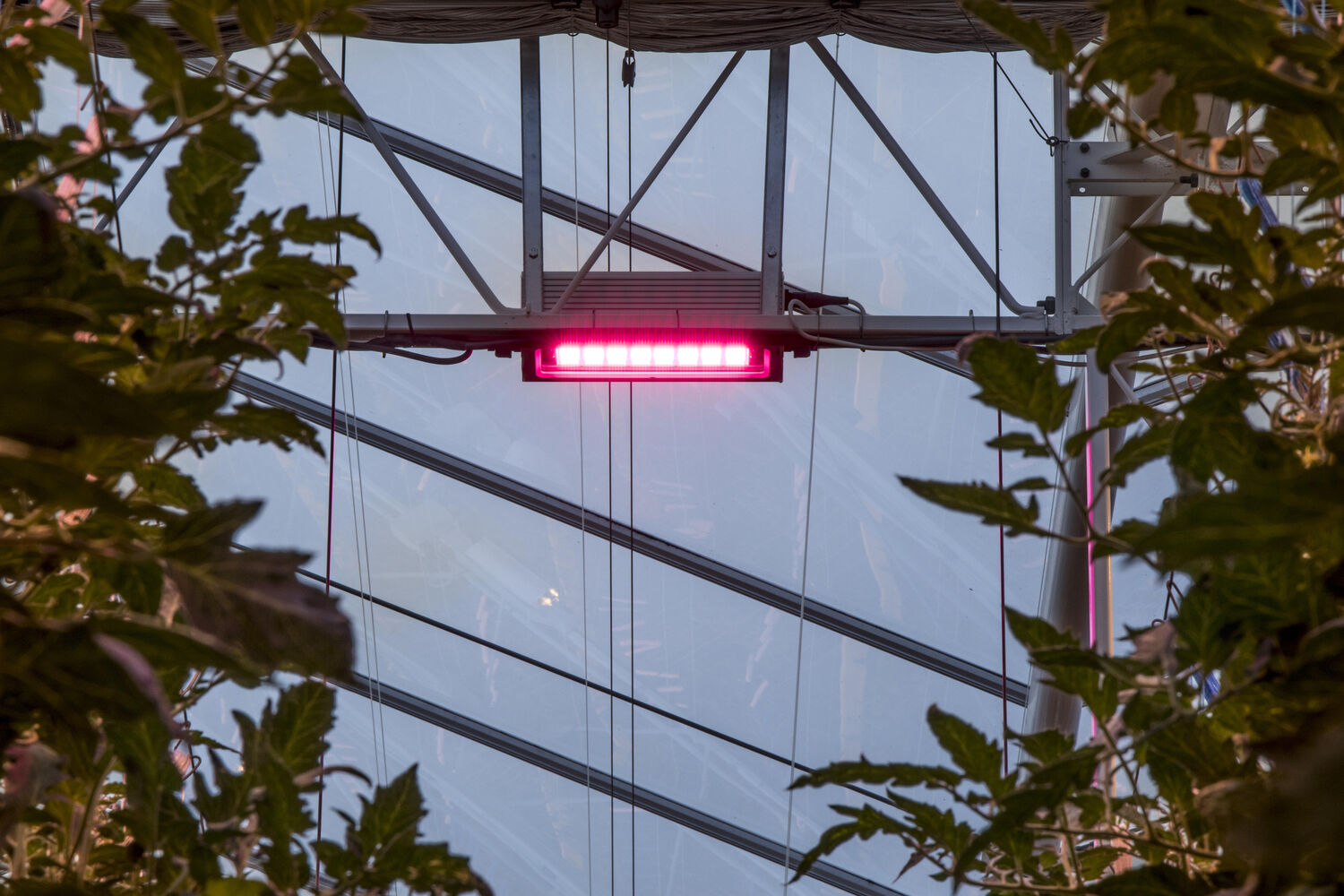 In Greenhouses: Hybrid lighting guarantees high-quality tomatoes all year round