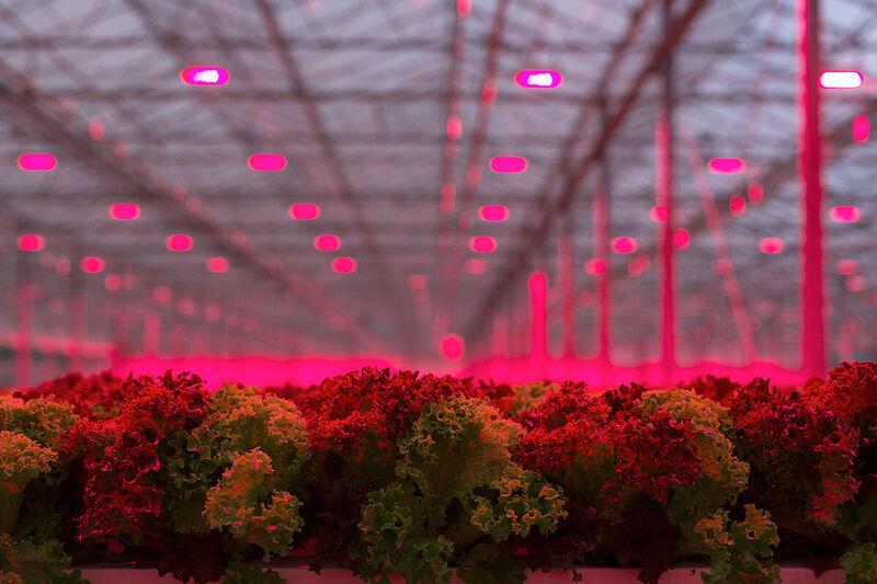 LED grow lights for lettuce