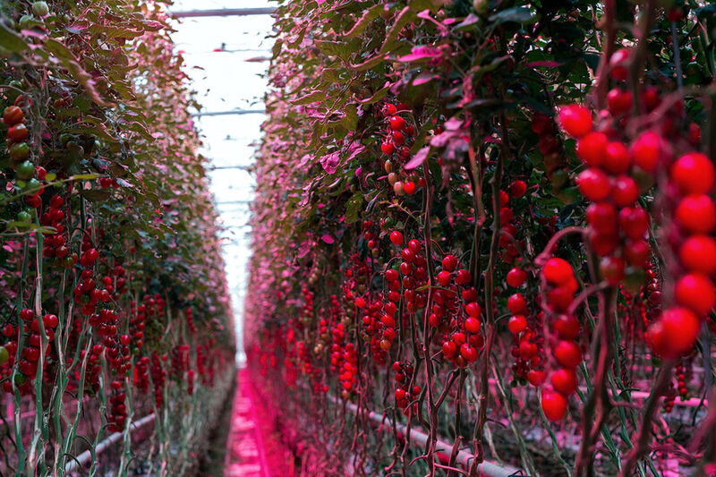 LED grow lights for tomatoes
