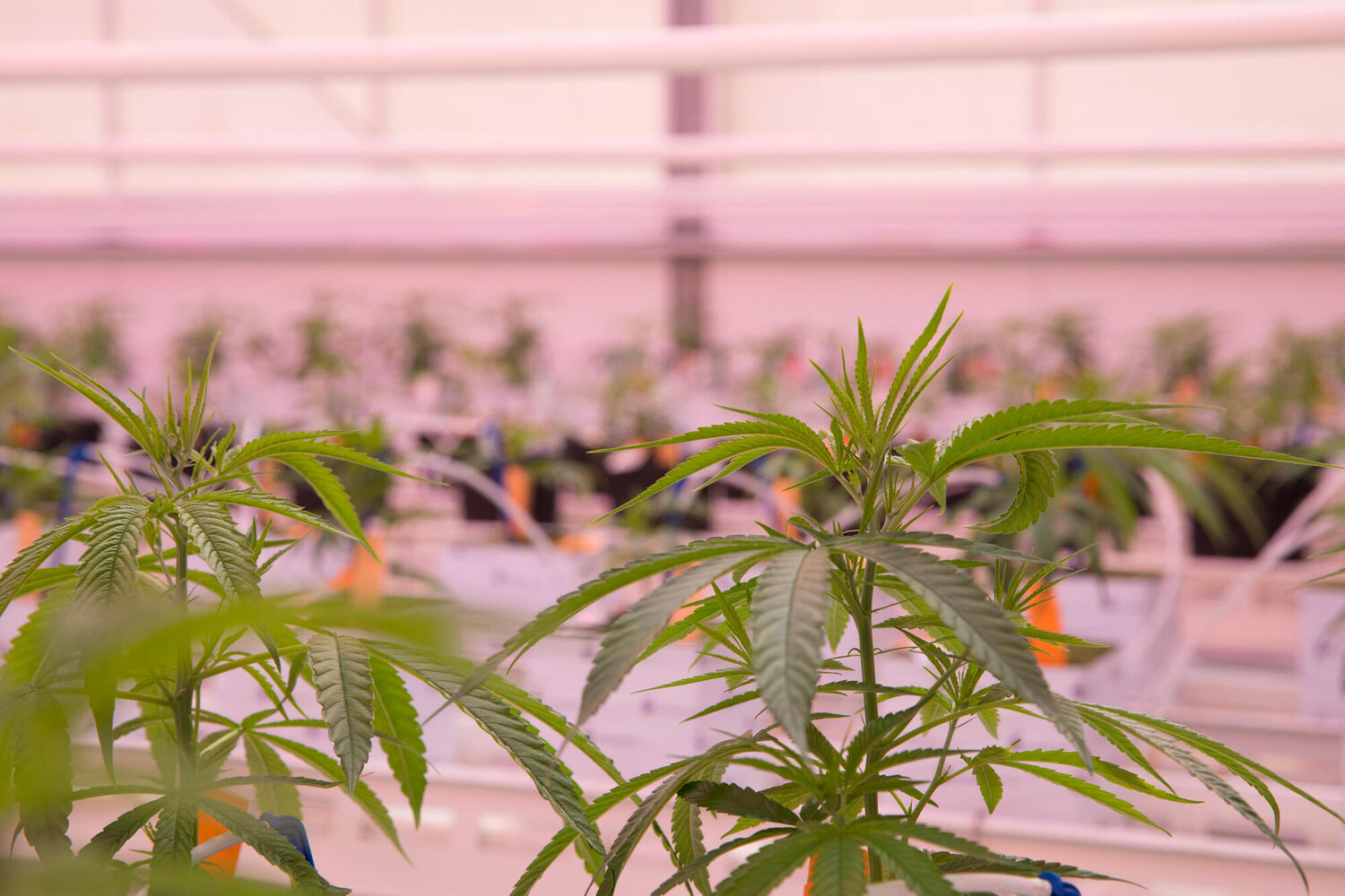 Oreon supplies LED to medical cannabis grower Medican in Denmark