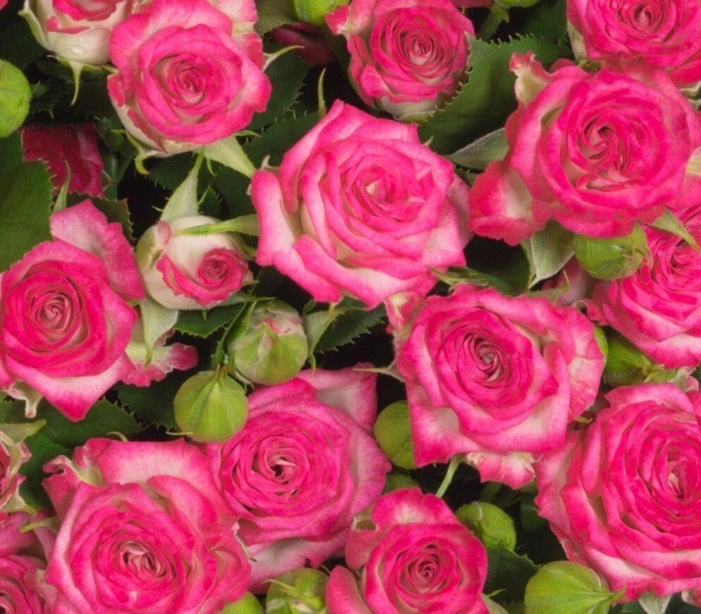 Toonaangevende rozenproducent Ascania-Flora Group kiest voor Oreon